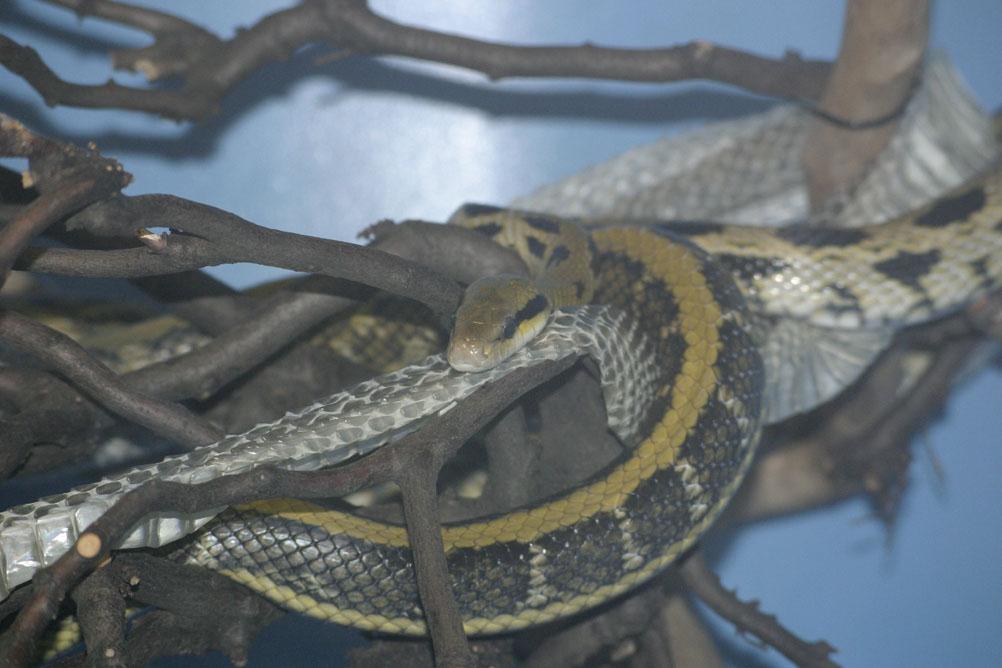 Snake shedding its skin at London Zoo.